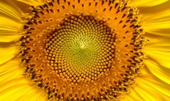 sunflower-94187_640-1
